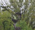 Berze cuibărind în copac la Marchegg